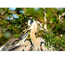 Great Blue Herons Adult with Young Photographic Print
