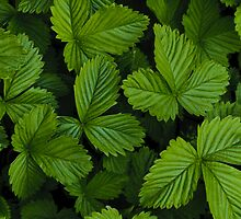 Green strawberry leaves by Stanciuc