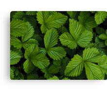 Green strawberry leaves Canvas Print