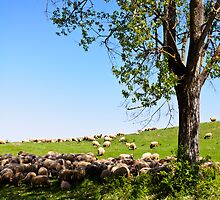 Sheep from Transylvania by Stanciuc