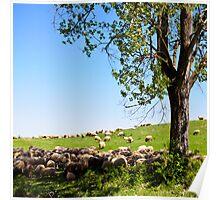 Sheep from Transylvania Poster
