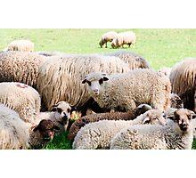 Sheep from Transylvania Photographic Print