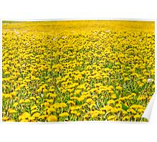 Beautiful countryside landscape in Transylvania, with green grass and dandelions Poster