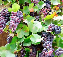 Violet grapes and leaves in countryside vineyard by Stanciuc