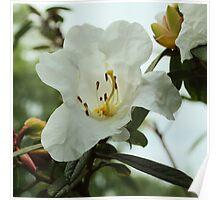 Daguo Dujuan Flower Poster