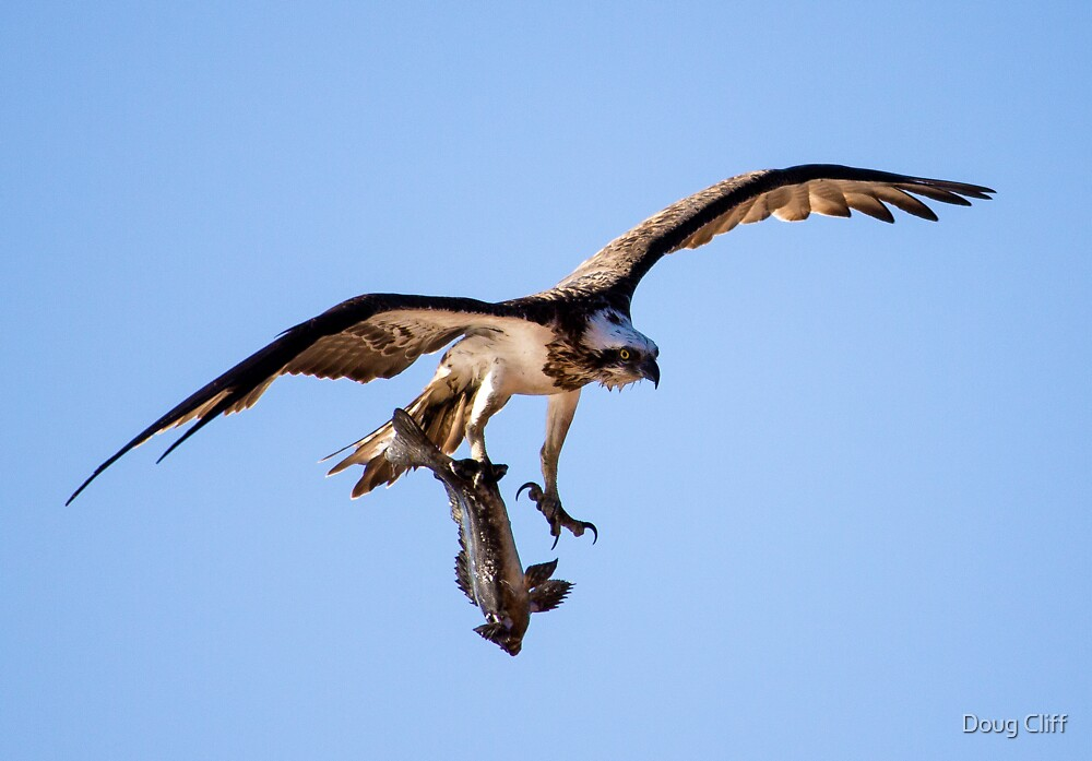 Osprey with breakfast at Mona vale pool by Doug Cliff