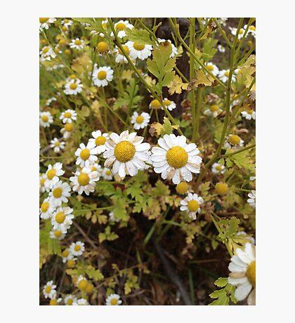 Wild Daisy Flowers  Photographic Print