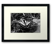 Yellowtail Butterfly No. 3 Framed Print