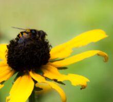 Bee on a Black-eyed Susan Sticker
