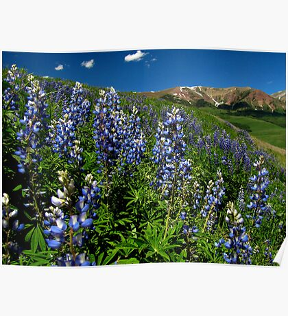 Lupine in the Rockies Poster