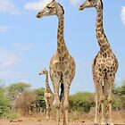 Giraffe - African Wildlife Background - Stare of Symmetry by LivingWild