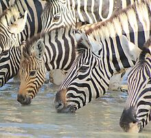Zebra - African Wildlife Background - Pleasure of Water by LivingWild