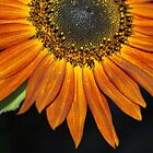 Up close Sunflower by ANNABEL   S. ALENTON
