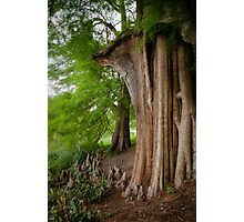 Under the swamp cypresses Photographic Print