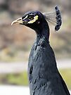 Black Peacock by Yampimon
