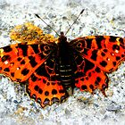 Euphydryas aurinia by ©The Creative  Minds