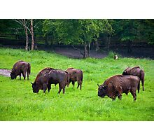 European bisons Photographic Print