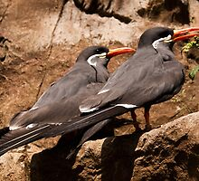 Inca Tern by Country  Pursuits