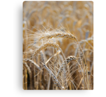 Ripe heads of golden wheat in the field Canvas Print