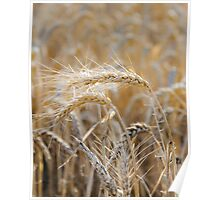 Ripe heads of golden wheat in the field Poster