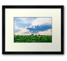 View of field with blooming sunflowers with sunset in background Framed Print
