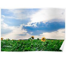 View of field with blooming sunflowers with sunset in background Poster