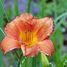 1 Lily by Susan S. Kline