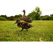 Duckling and Duck Photographic Print