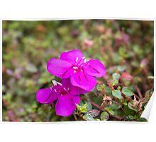Pink Spider Flower Poster