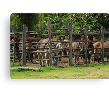 Mules in a Holding Pen Canvas Print