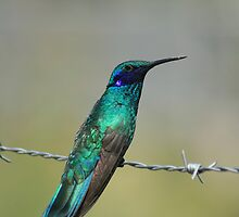 Sparkling Violetear Hummingbird Watching by rhamm
