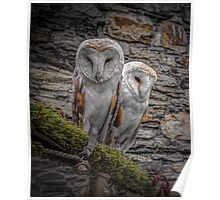 Barn owls in conwy Poster