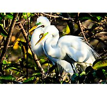 Pair of Courting Great Egrets Photographic Print