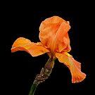 Garden Iris by Floyd Hopper