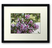 Pink Azalea Blooms Framed Print