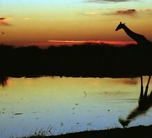 Giraffe at Sunset, Etosha, Namibia  by Carole-Anne