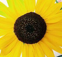 Sunflower by Santamariaa