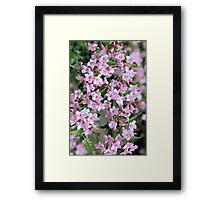 Cascade of Pink Weigela Framed Print