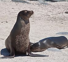 Ecuador. Galapagos Islands. Seals - mother & baby. by vadim19