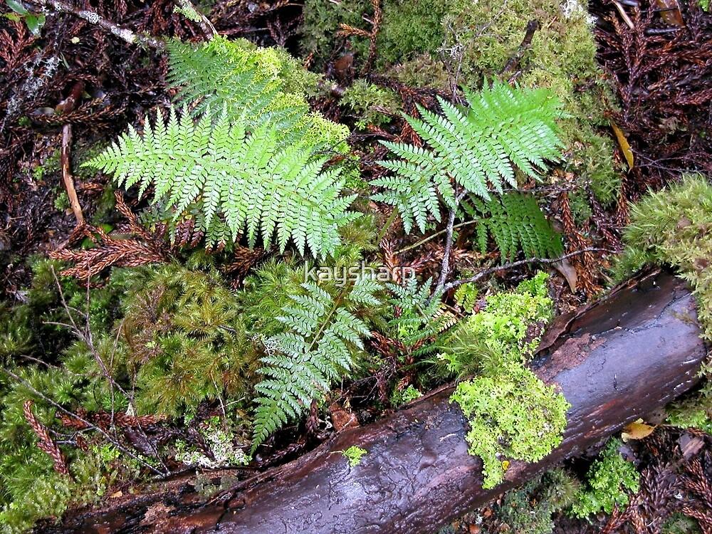 Ferns, King Billy Walk, Cradle Mountain, Tasmania, Australia. by kaysharp
