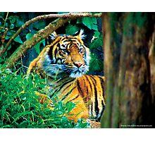 Tiger Photo Photographic Print