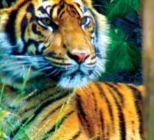Tiger Photo Sticker
