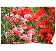 Pink and red Poppies Poster