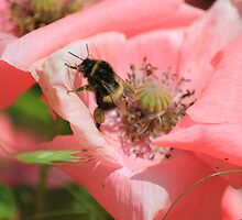 Bee in a Poppy by DAVE SNEYD