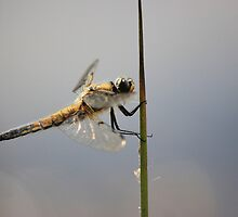 Another Dragonfly by DAVE SNEYD