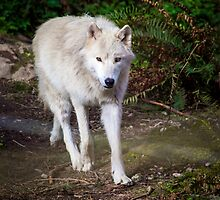 Timber Wolf by RandyHume