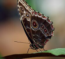 Common Morphos by Anthony G Comella