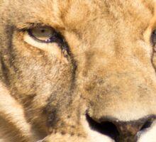 629 lioness Sticker