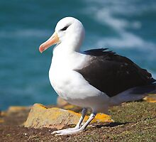 Black-browed Albatross - Saunders Island, the Falklands by Carole-Anne