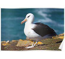 Black-browed Albatross - Saunders Island, the Falklands Poster